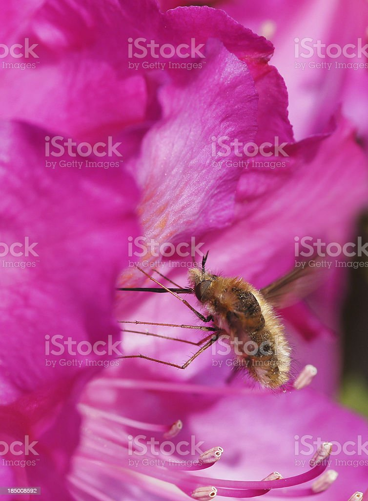 Bombylius major on Rhododendron stock photo