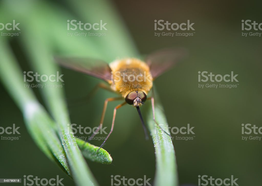Bombylius resting on the grass stock photo