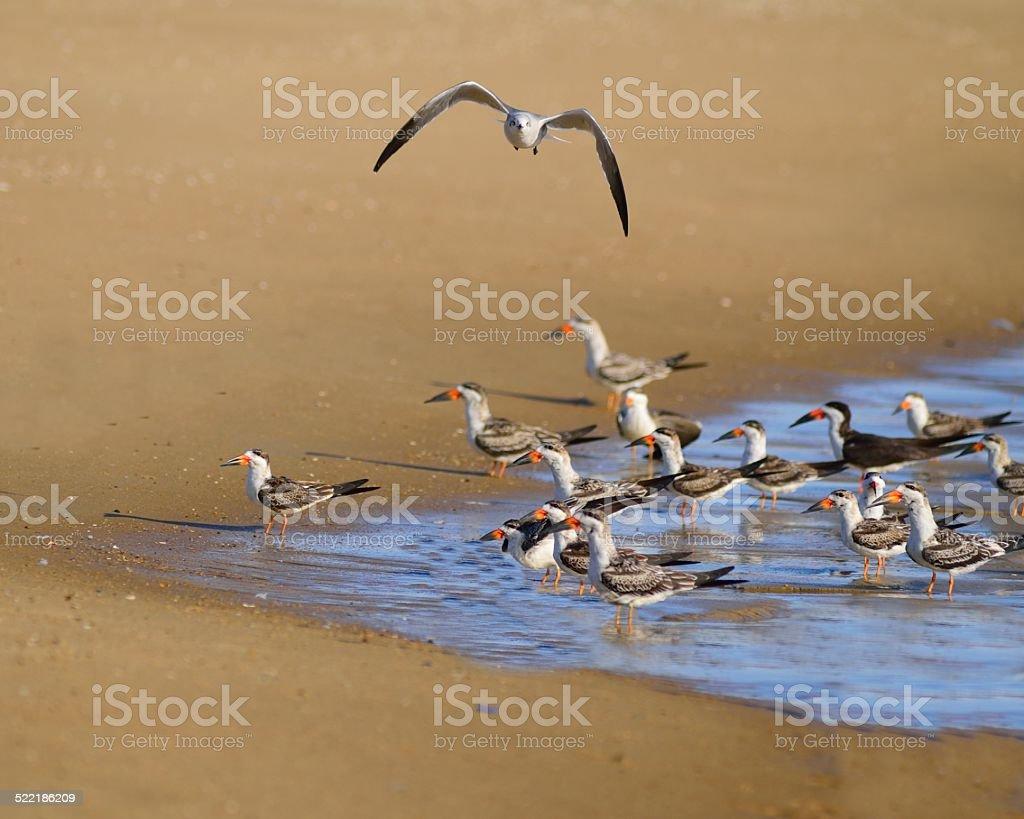Bonaparte's Gull Buzzing Black Skimmers stock photo