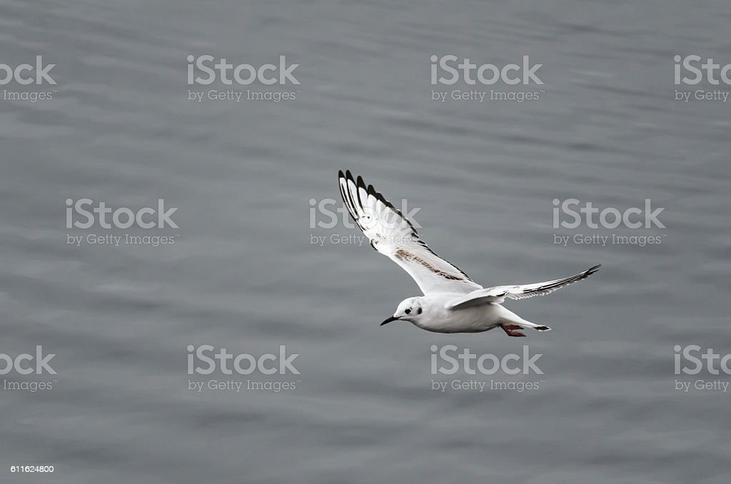 Bonaparte's Gull looking for a meal stock photo