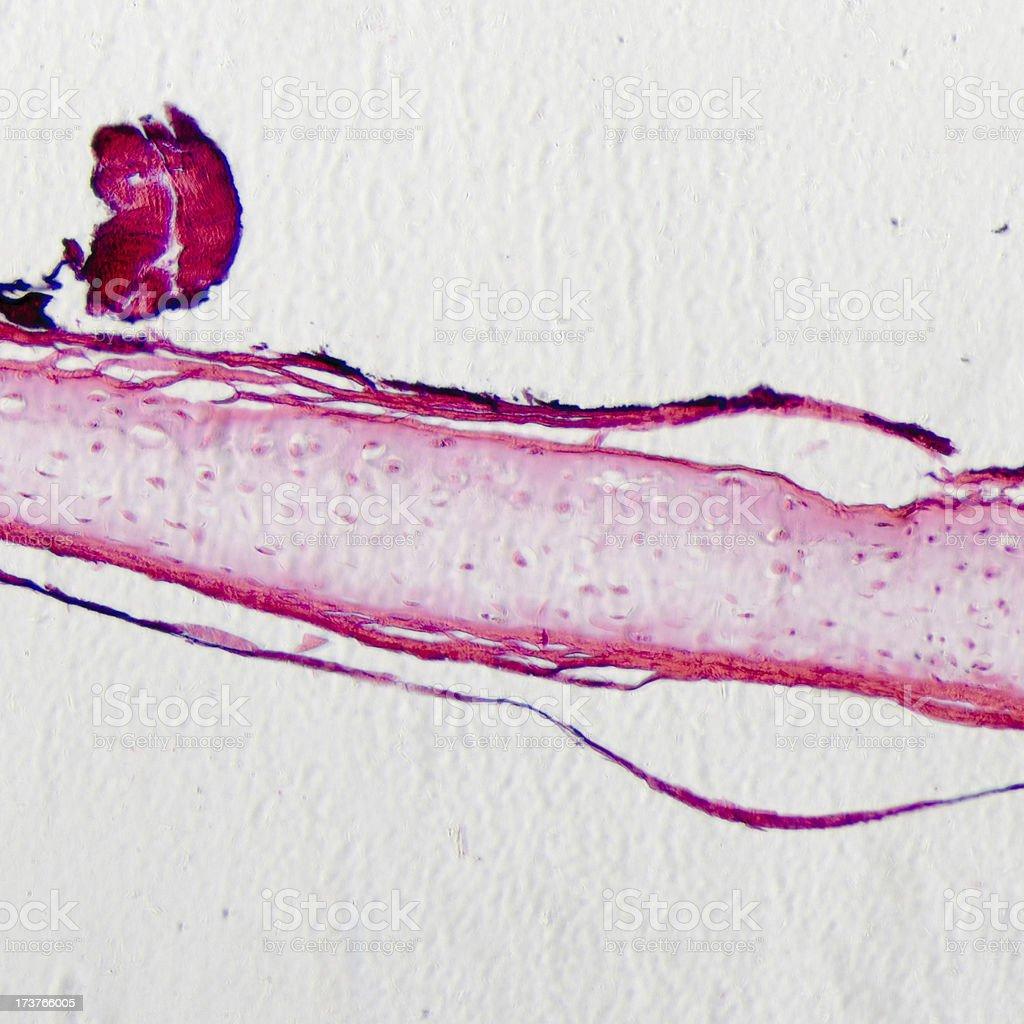 bone cell osteocyte stock photo
