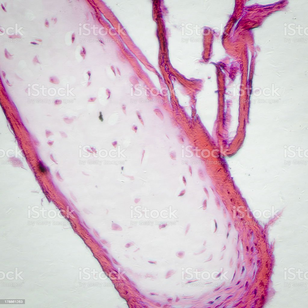 bone cell osteocyte stock photo