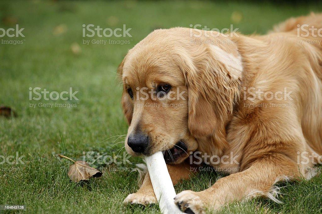 Bone Chew stock photo
