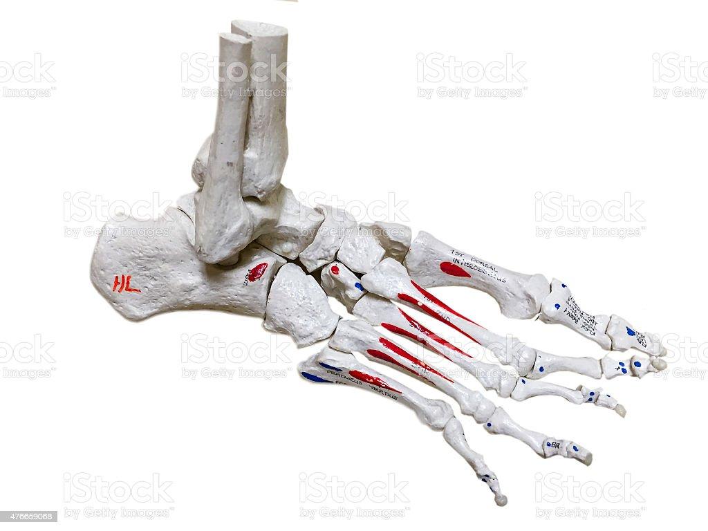 Bones of a foot stock photo