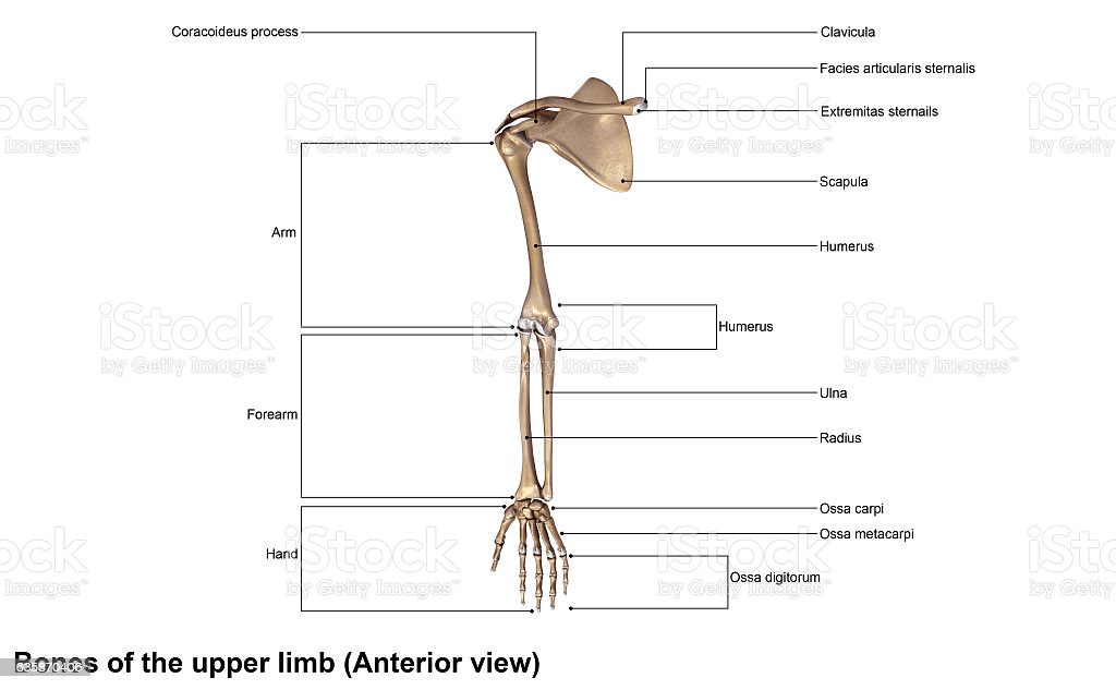 Bones of the upper limb stock photo