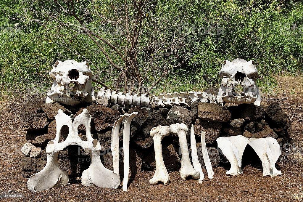 bones royalty-free stock photo