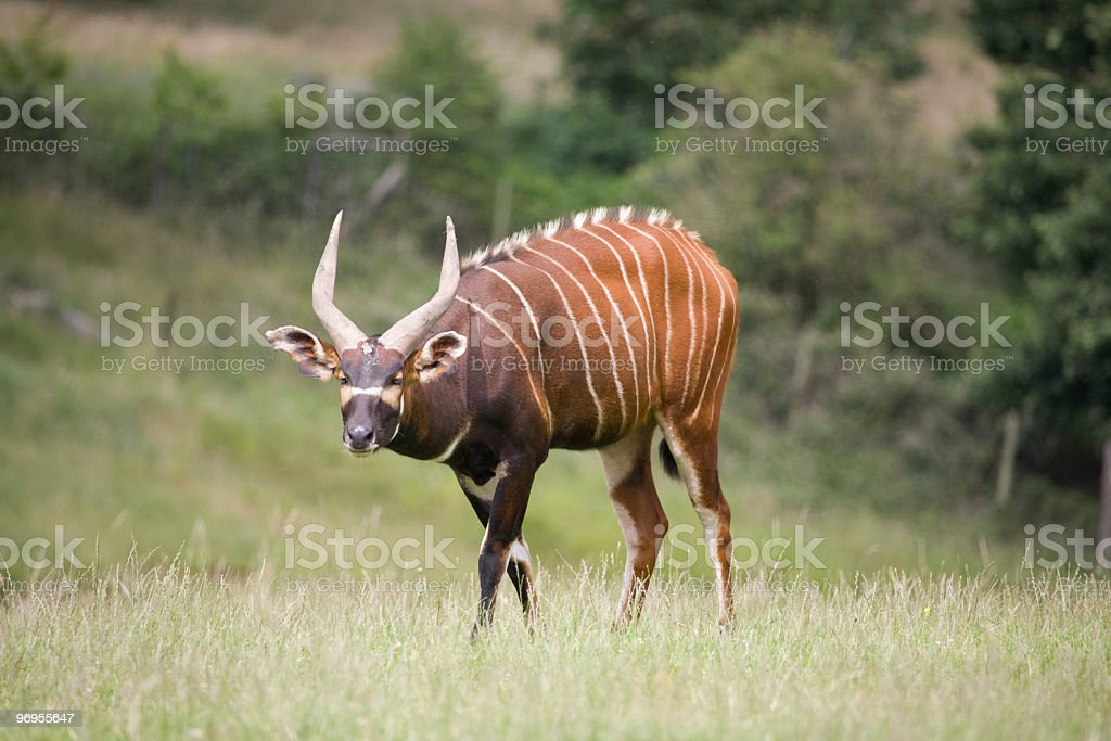 Bongo antelope on a green field at nature scene stock photo