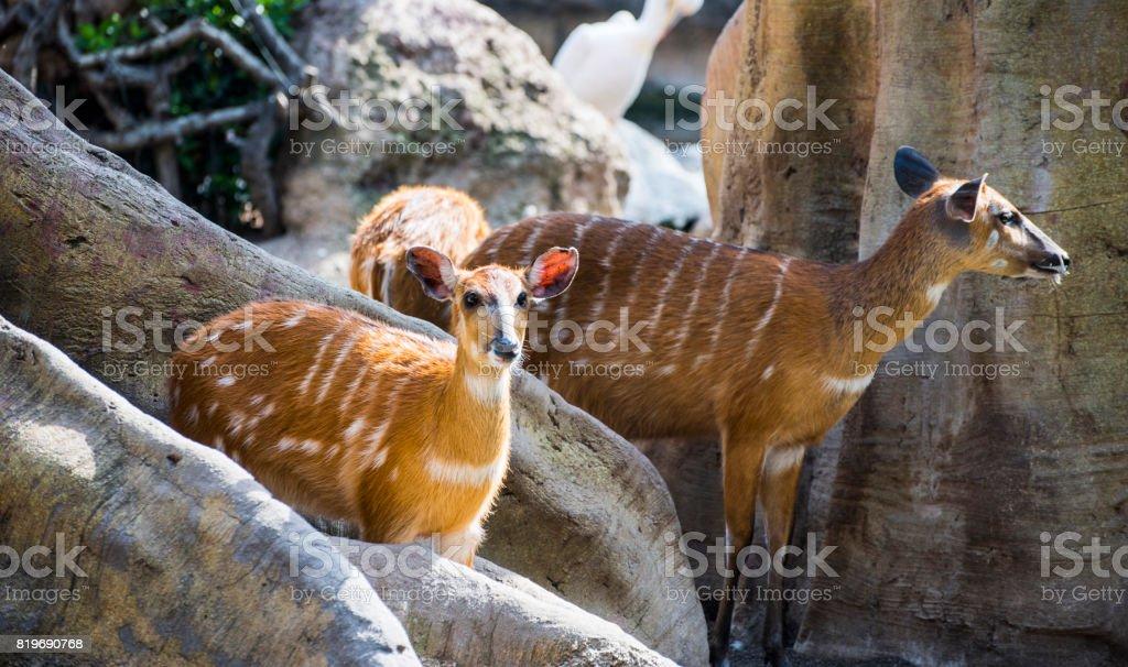 Bongo Antelope (tragelaphus eurycerus isaaci) stock photo