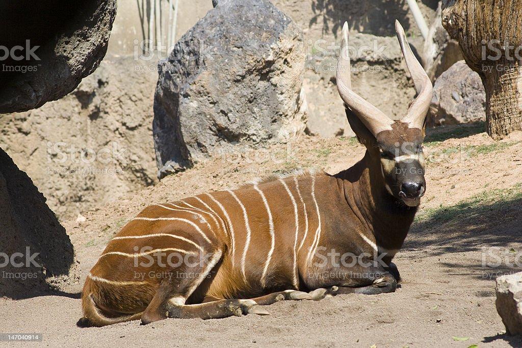 Bongo Lizenzfreies stock-foto