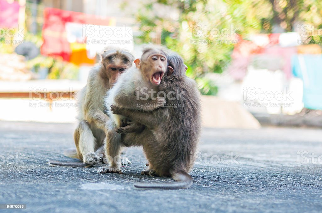 Bonnet Macaque monkeys playing on the roof stock photo
