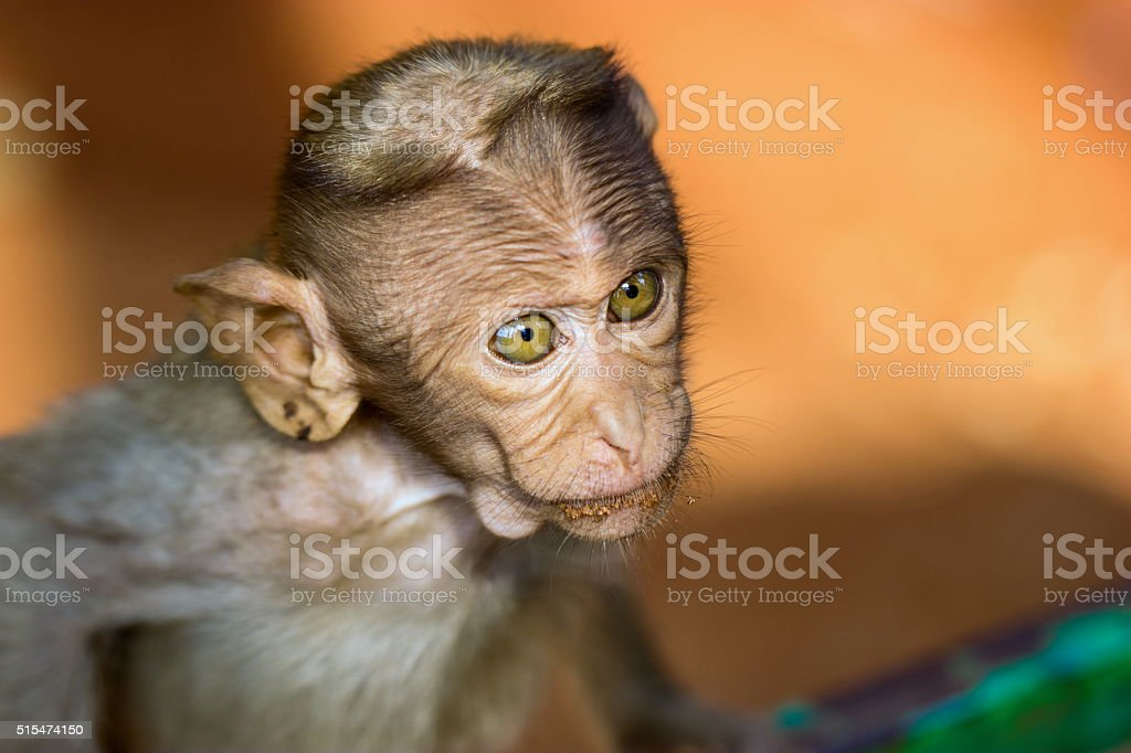 Bonnet Macaque, part of the Banyan Tree Troop Bangalore India. stock photo