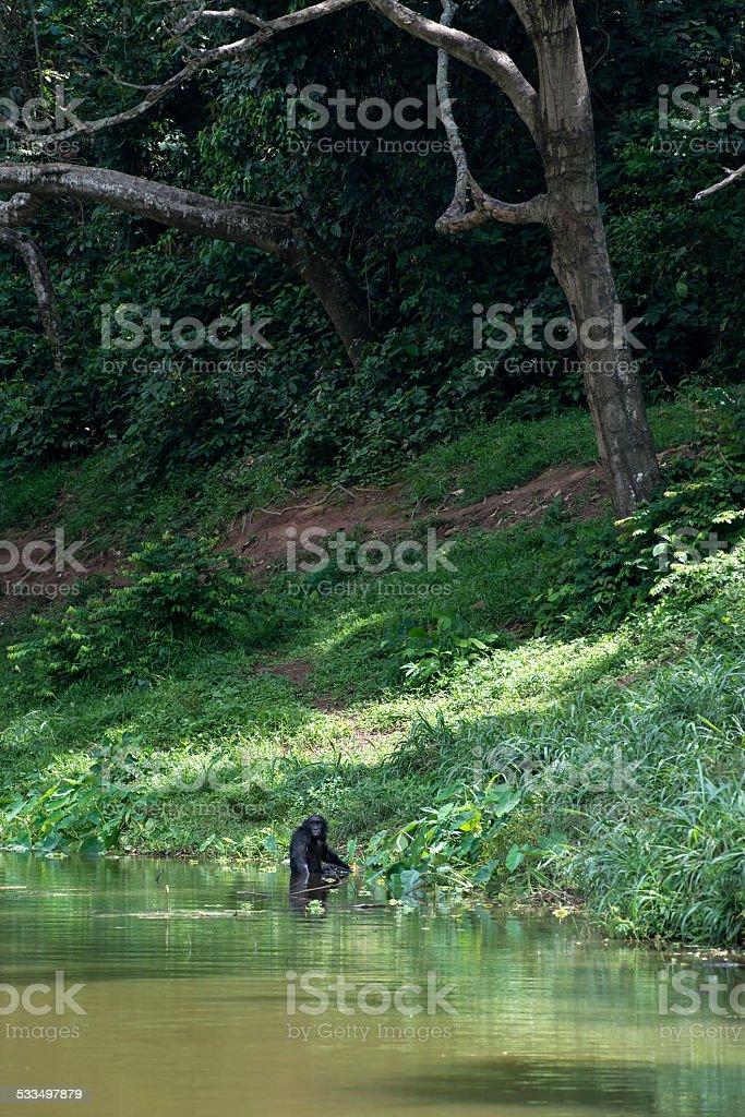 Bonobo at a river (Pan paniscus, Pygmy Chimpanzee) stock photo