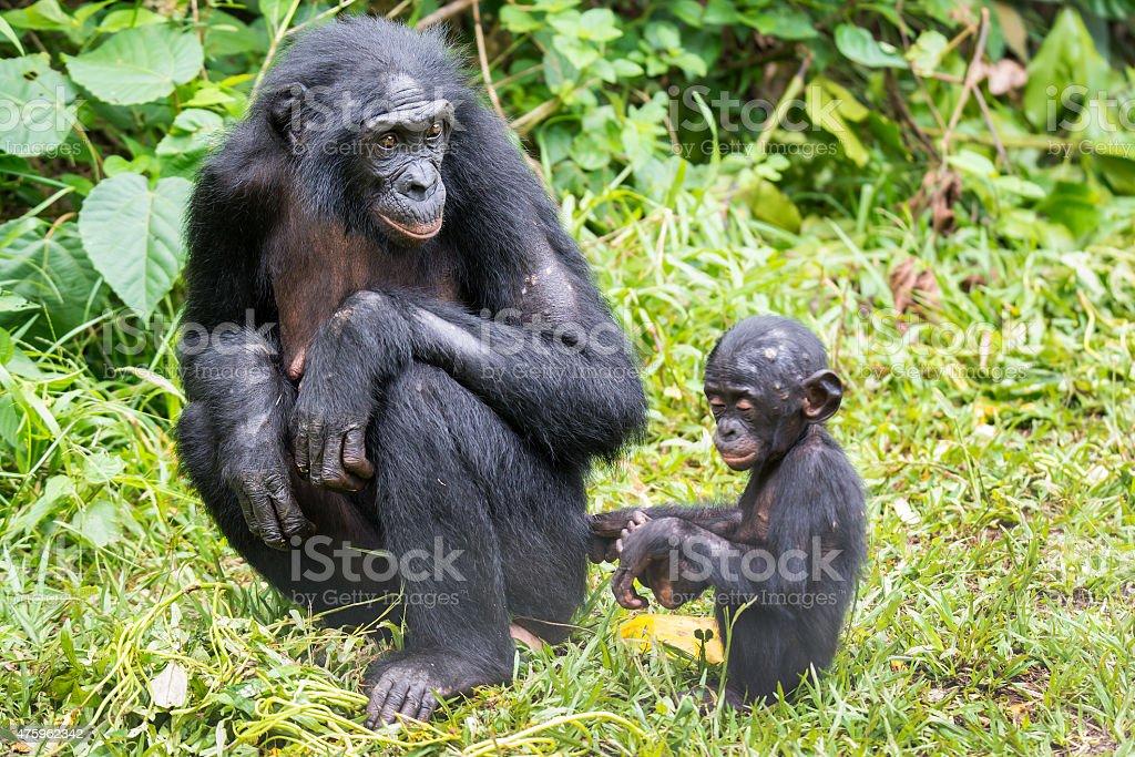 Bonobo baby and her mother (Pan paniscus, Pygmy Chimpanzee) stock photo
