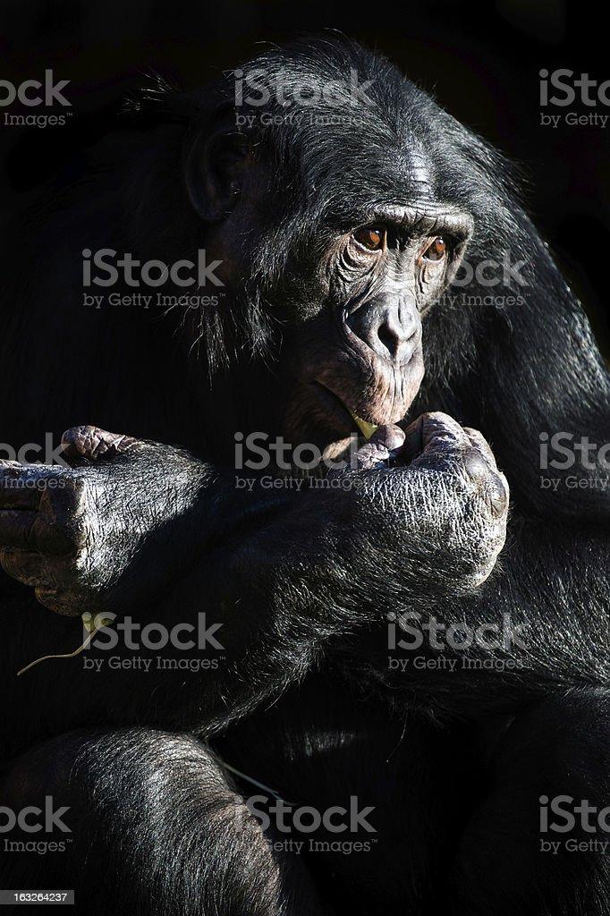 Bonobo Chimp Light & Shadow stock photo