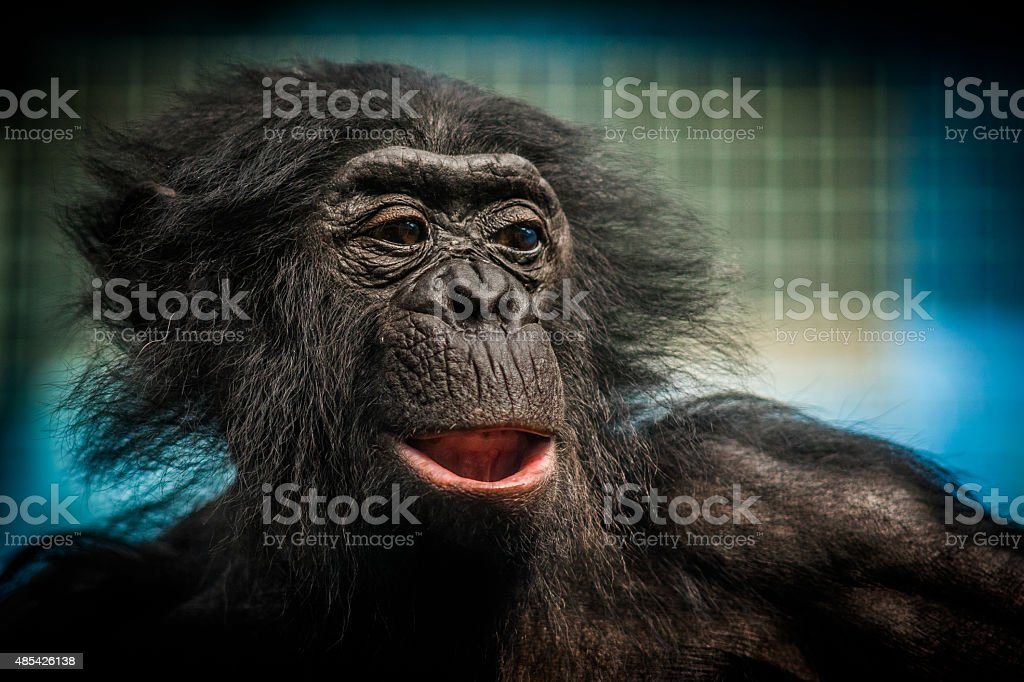 Bonobo Chimpanzee stock photo