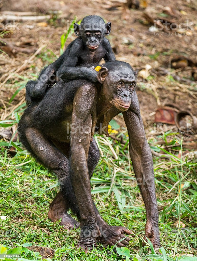 Bonobo Cub on back at mother. stock photo