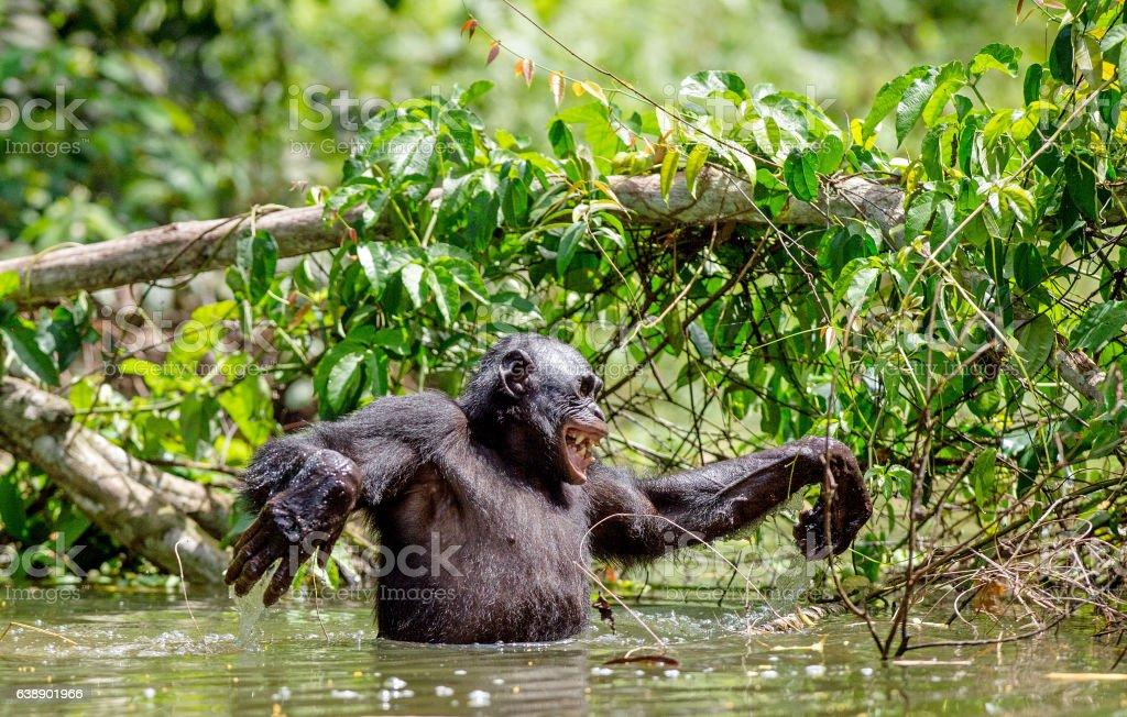 Bonobo in the water. stock photo