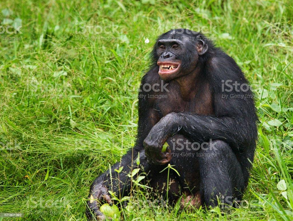 Bonobo is sitting on the ground stock photo