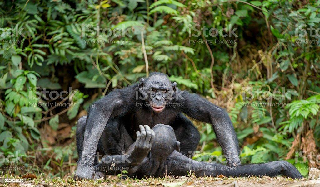 Bonobo mating. stock photo