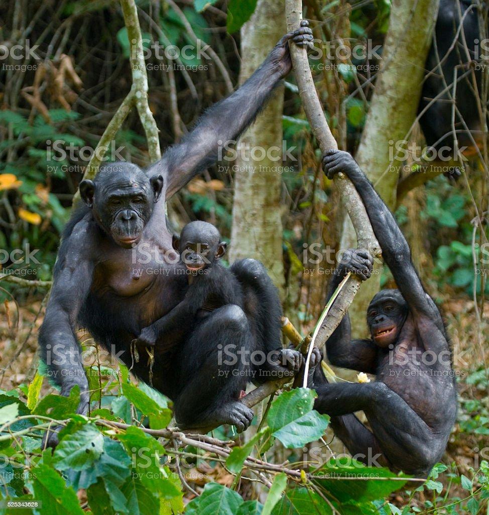 Bonobo on a tree stock photo