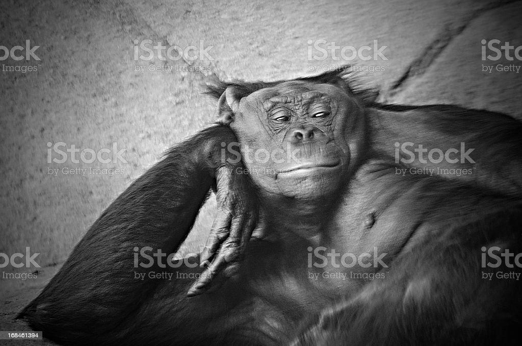 bonobo or pygmy chimpanzee, Pan paniscus stock photo