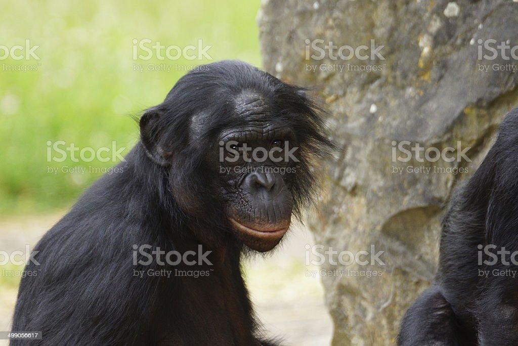 Bonobo stock photo
