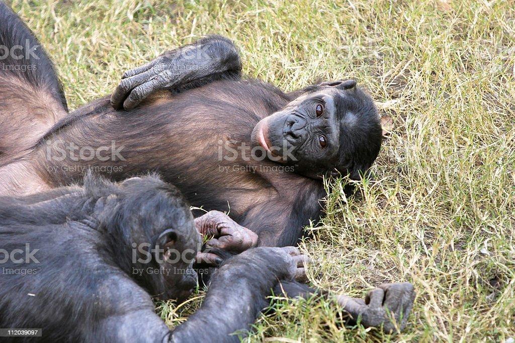 Bonobo resting in grass stock photo