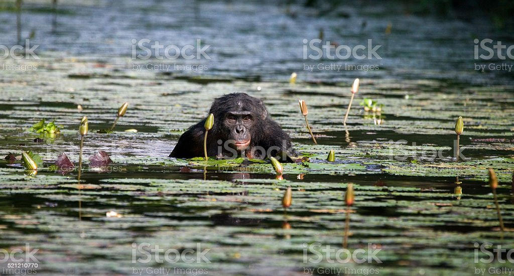 Bonobo sits at the pond stock photo
