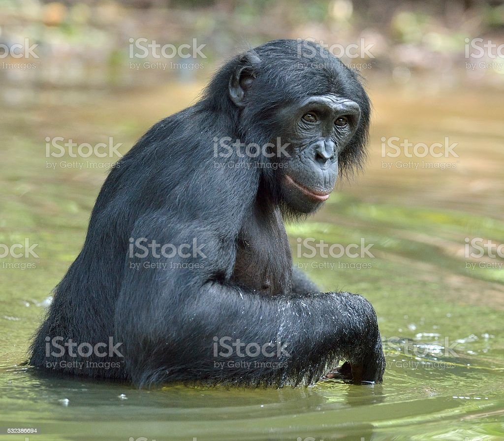 Bonobo standing in water stock photo