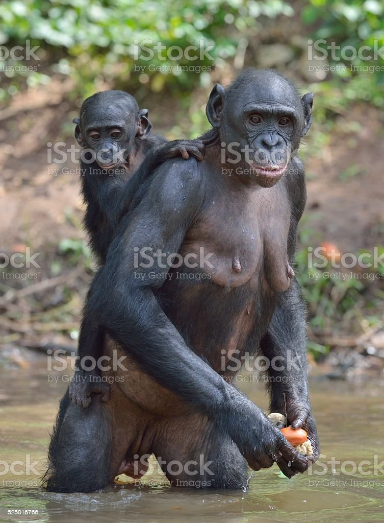 Bonobo standing on her legs in water with a cub stock photo