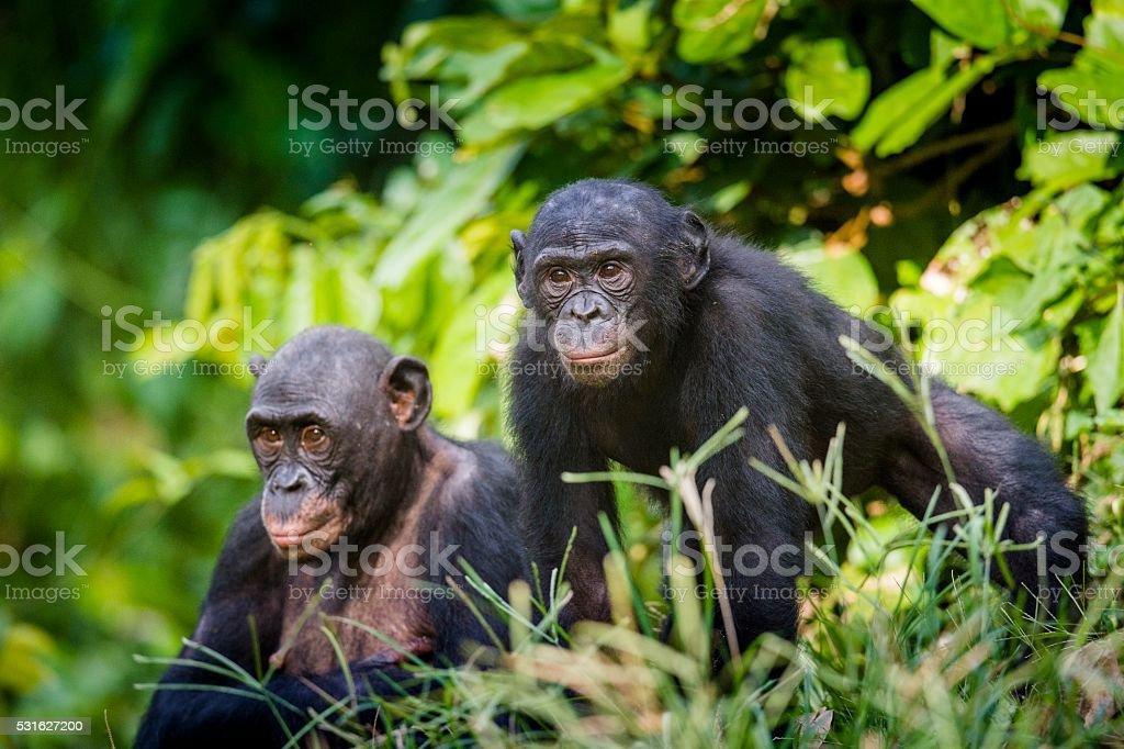 Bonobos in natural habitat. stock photo