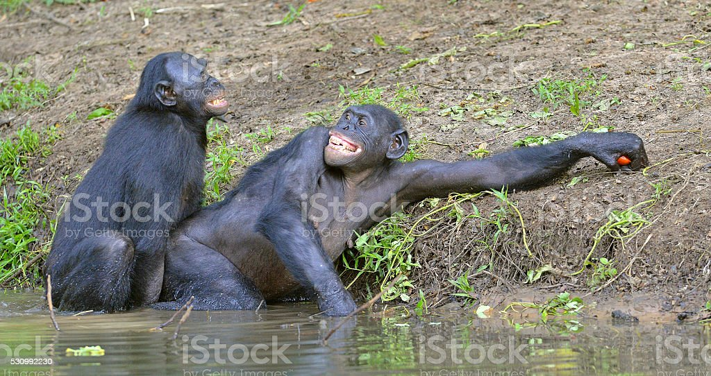 Bonobos mating in the pond. stock photo