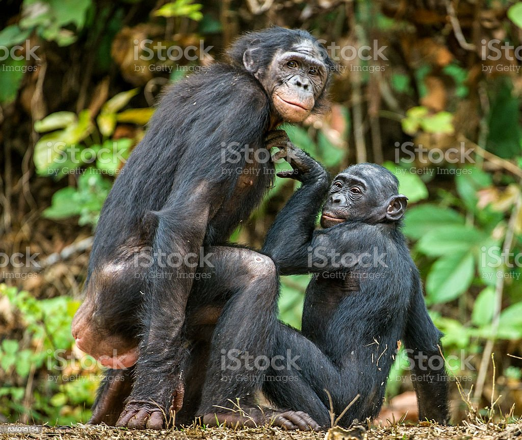 Bonobos mating. stock photo