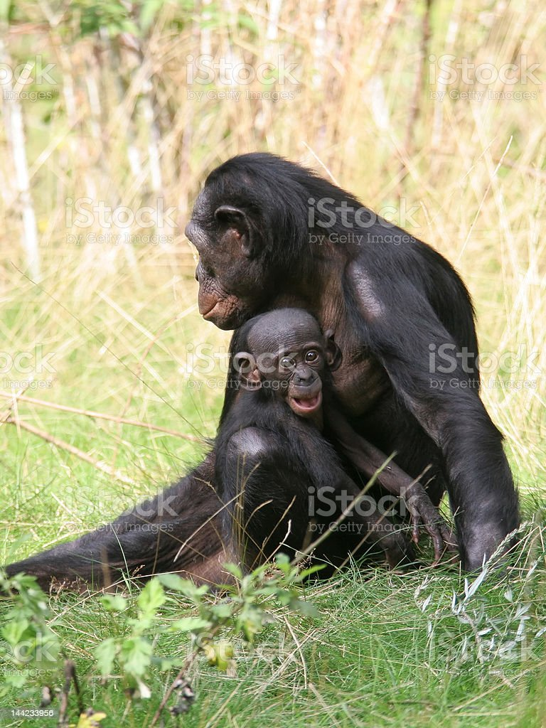 Bonobos royalty-free stock photo