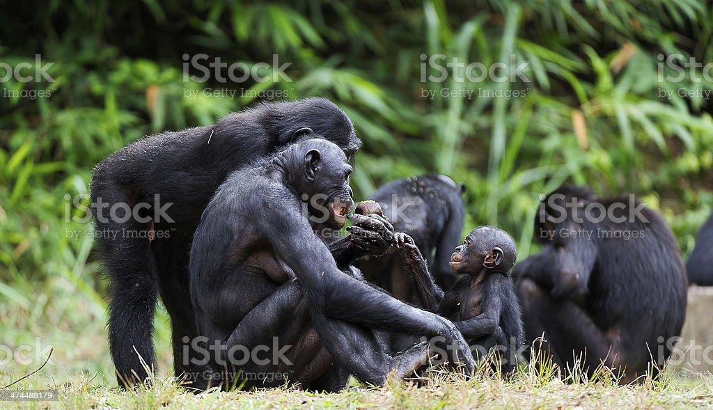 Bonobos stock photo
