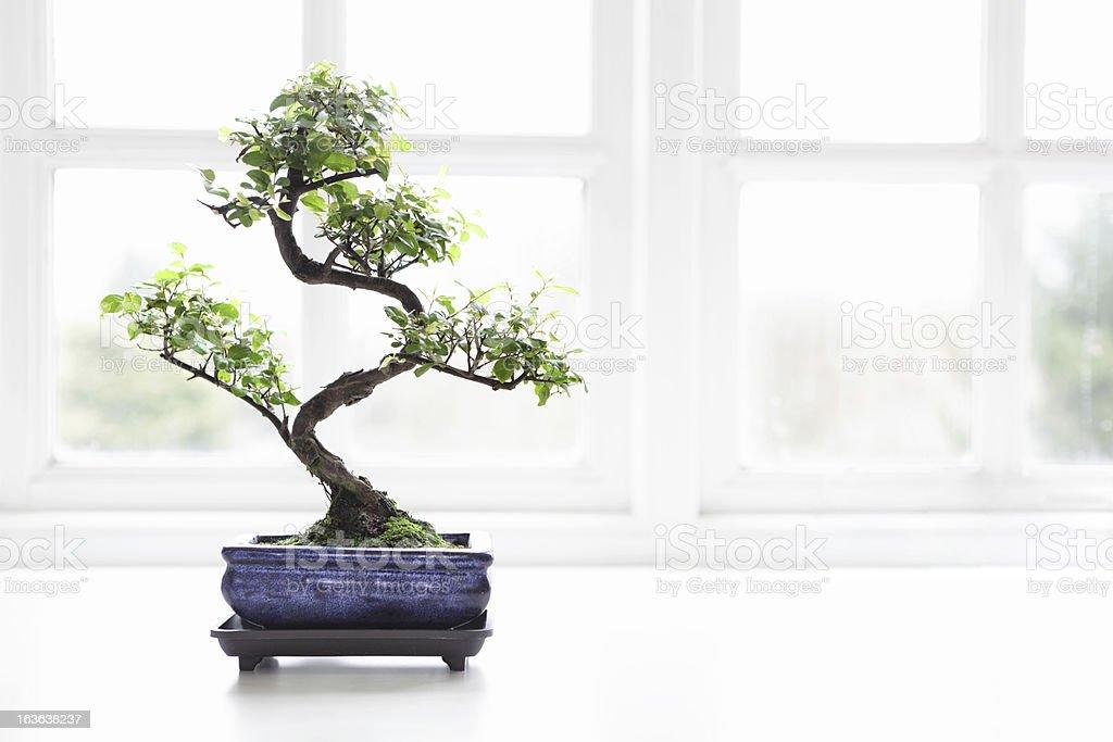 Bonsai Chinese Sweet Plum Sageretia theezans stock photo