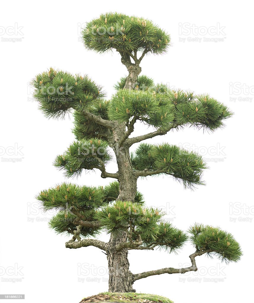 Bonsai conifer (Ponderosa Pine, Pinus ponderosa) isolated on white. royalty-free stock photo