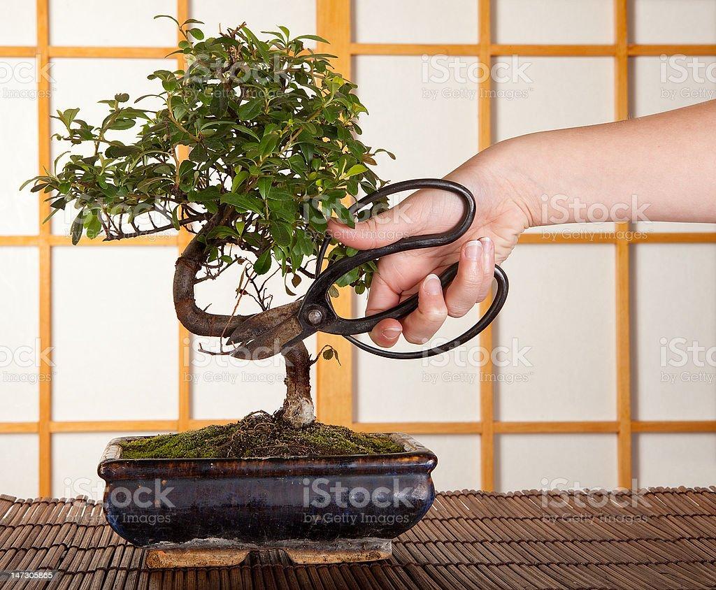 Bonsai cutting stock photo