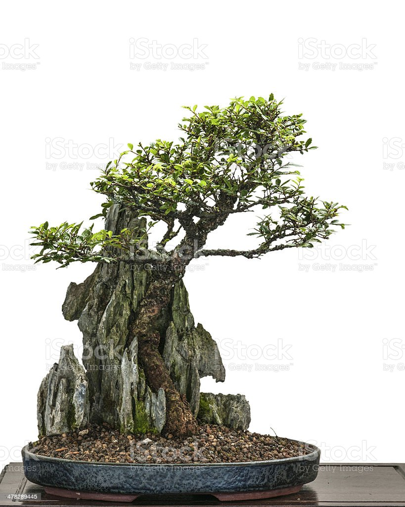 Bonsai elm tree (Zelkove nire) is growing over a rock royalty-free stock photo