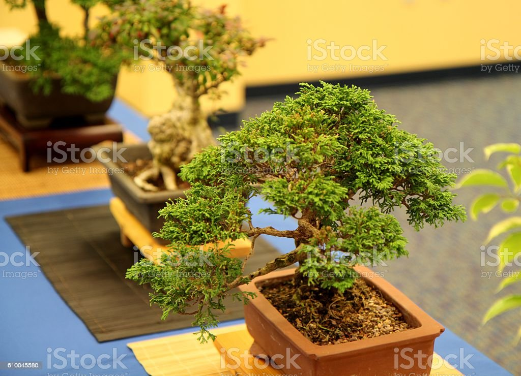 Bonsai Exhibit stock photo