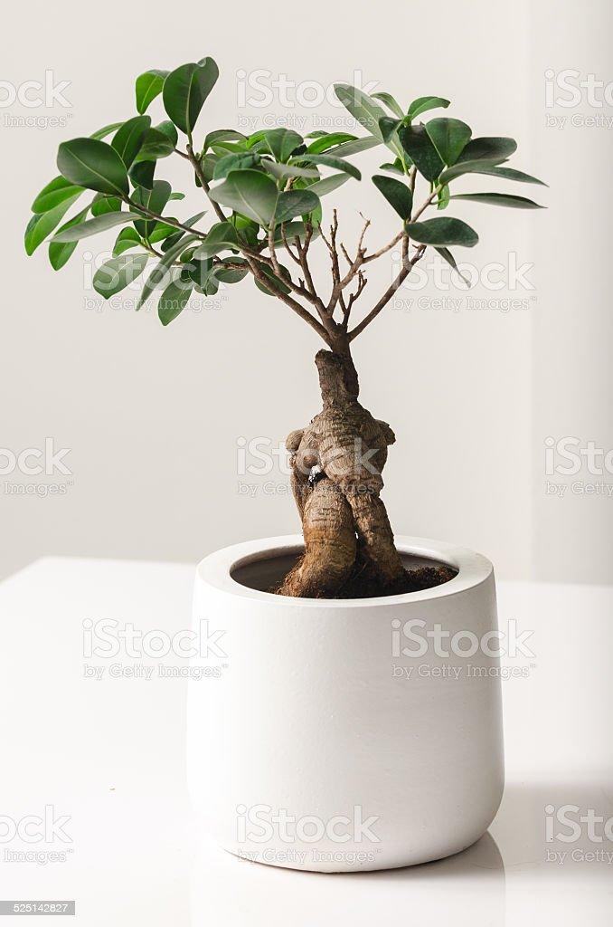 Bonsai, Ficus Ginseng stock photo
