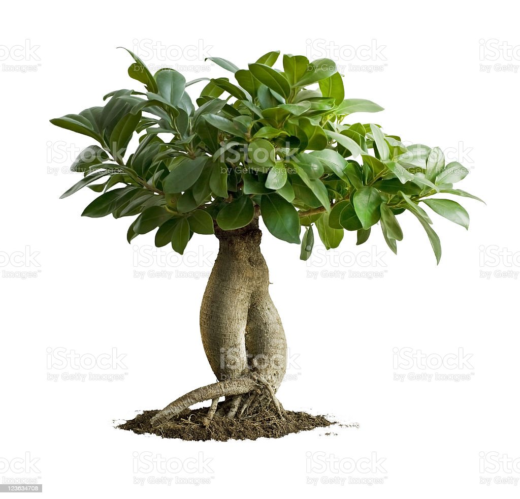 Bonsai, Ficus Microcarpa Ginseng stock photo