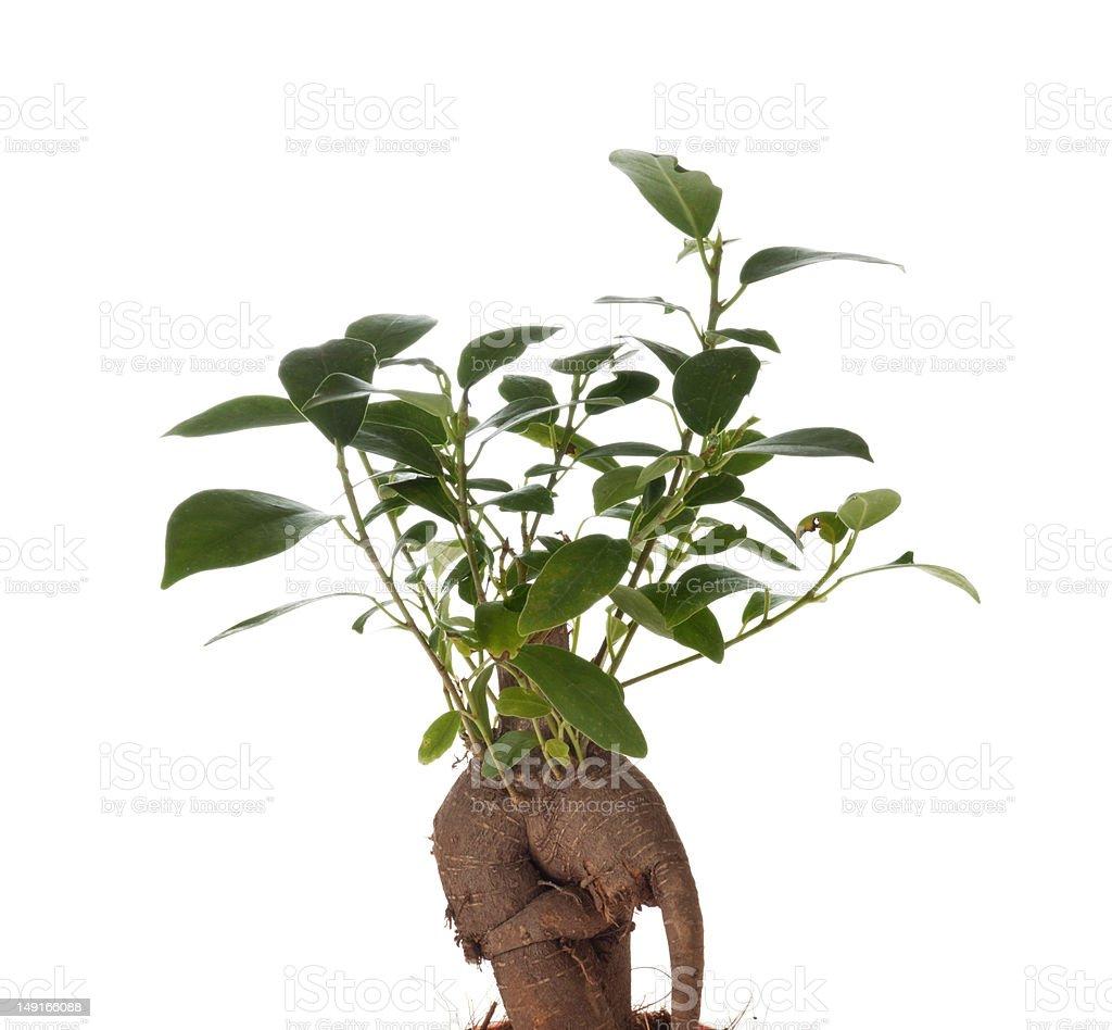 Bonsai Ficus Tree stock photo