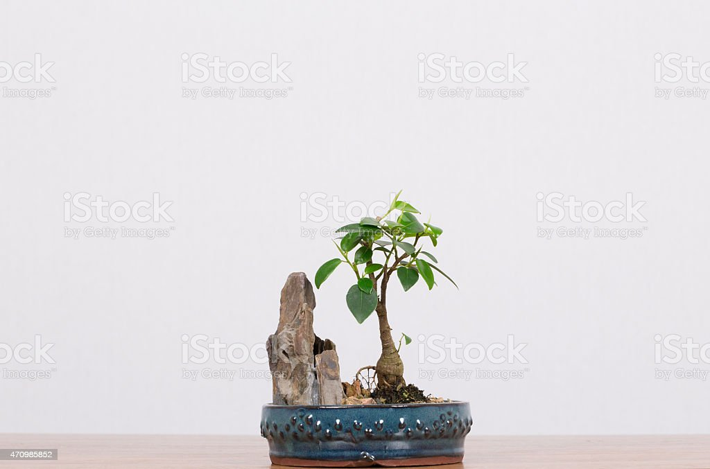 Bonsai Fig Tree Growing Slowly next to Vertical Rock stock photo