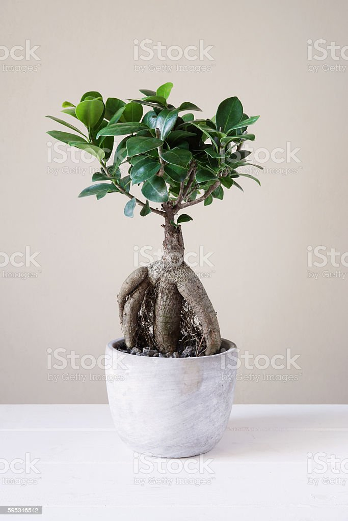 bonsai ginseng or ficus retusa stock photo