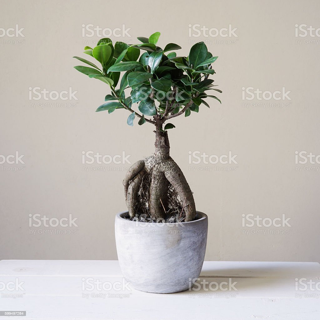 bonsai ginseng or ficus retusa stock photo
