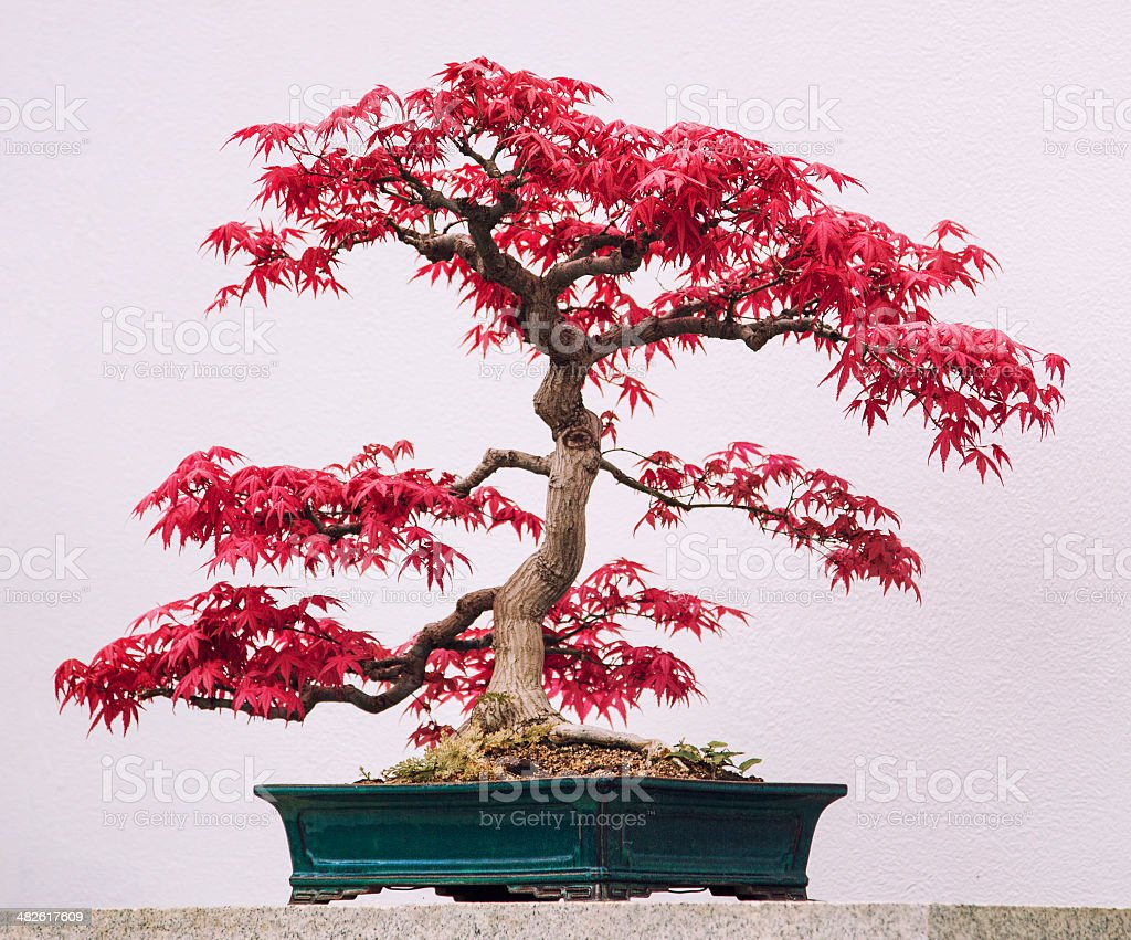 bonsai, Japanese red maple stock photo
