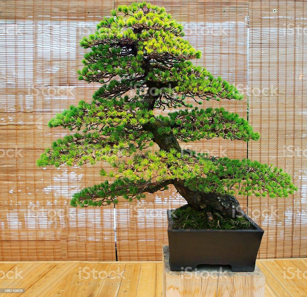 Bonsai. Japanese white pine Age about 100 years. stock photo