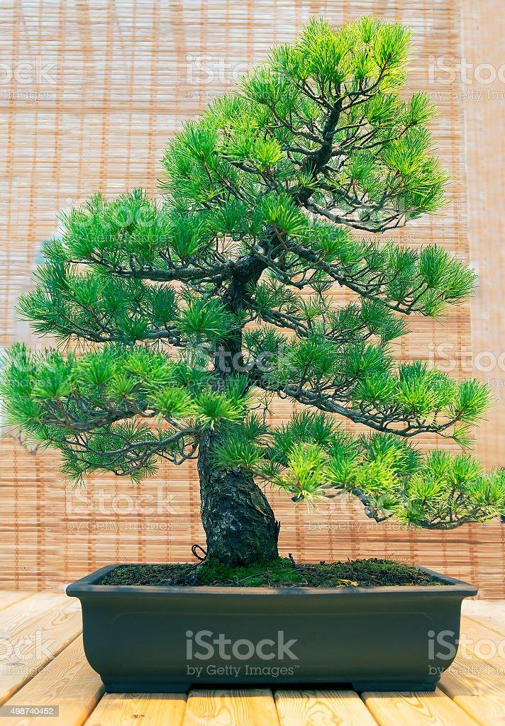 Bonsai. Japanese white pine Age about 70 years. stock photo