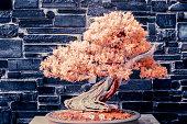Bonsai Juniper in Infrared